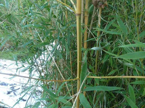 Bambou de collection Phyllostachys aurea Koi