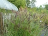 Pennisetum alopecuroides Black Beauty